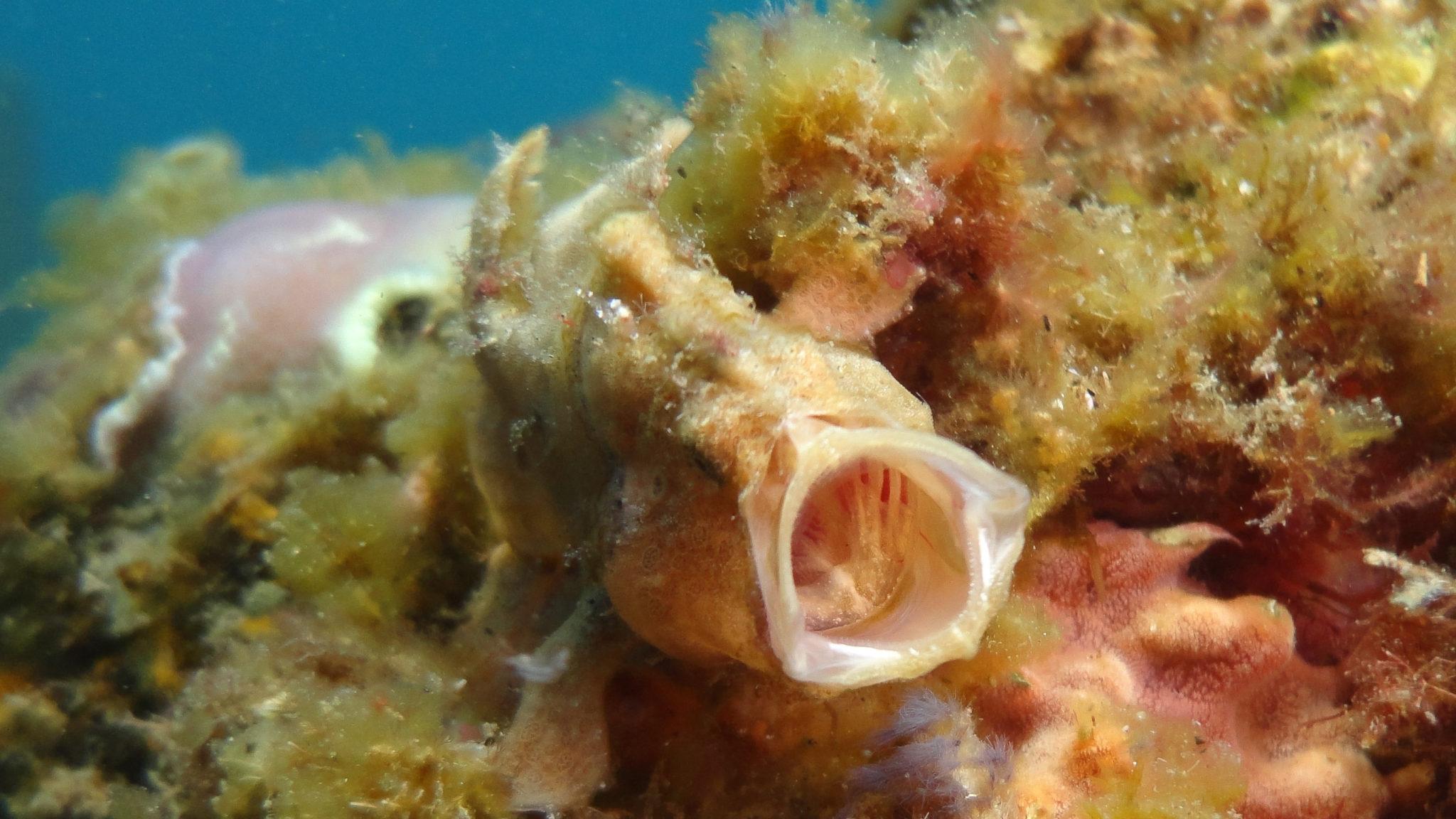 Gato Island Frogfish